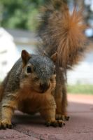 Chippy The Squirrel by IvanTortuga666