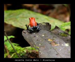 Rana Roja2-Red Frog 2 by Valmont-jose