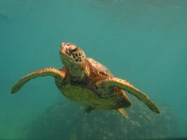 Honu Greeting by X5-442