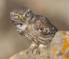 Say, what you looking at ? !!!!! - Little owl by Jamie-MacArthur