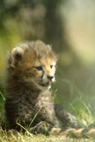 Baby Cheetah #2 by zantri