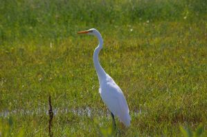 Egret 3 by Silver-she-wolf-14
