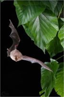 Lesser Horseshoe Bat by ClaudeG