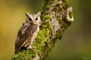 Indian Scops Owl / Hindu-Halsbandeule by ~DaSchu