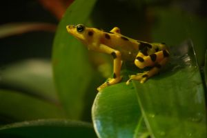 Panamanian Golden Frog by toshema