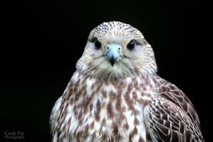 Saker Falcon by lost-nomad07
