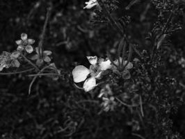 Gentle Cliffrose by DailyB