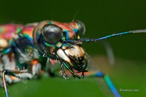 Japanese Tiger Beetle by melvynyeo