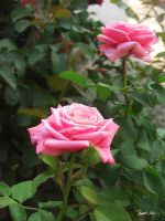 Pink Roses in Anzures 5 by ChristopherinMexico