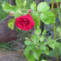 Red climber rose by Kattvinge