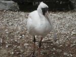 Ibis by drakesweeper