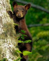 Black Bear by PhotographyDoneRight