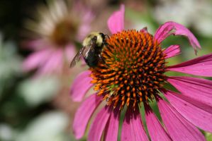 Echinacea and Bee by OtherWorldsArt