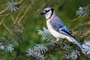 Blue Jay 05 by Jay-Co