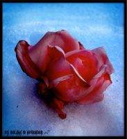 rose in the snow. by ChainsOfTemptation