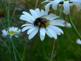 Bumble on a Daisy by scarlettrenee