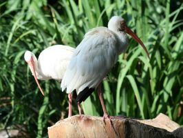 Ibises in their prime by usedHONDA