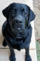 Black Lab I by LDFranklin