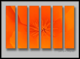 California Poppy 2 by kaiack