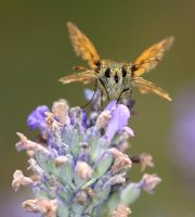 Small Skipper by AngelsOdyssey