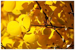 Aspen Gold by Raymaker