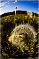 Pusteblume by Pampers-Rocker