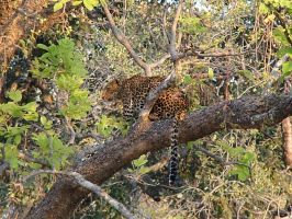 Leopard in a Tree II by 4ever-rider