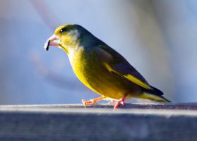 Greenfinch (Carduelis chloris) - table by Steve-FraserUK