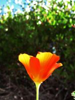 California Poppy 0872 by VioletRosePetals
