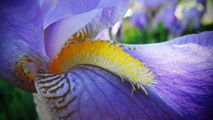 Iris croatica close-up by Paul774
