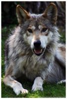 Mexican Wolf 027 by ShineOverShadow