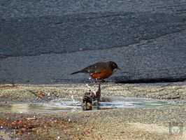 Bathing Starling And Robin by wolfwings1