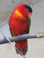 Purple-naped Lory 01 by animalphotos