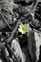 Alpin primula by albyper84