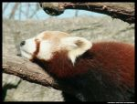 Red Panda sleeping by leopatra-lionfur