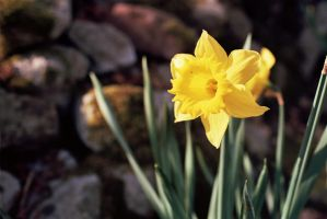 Daffodil by StuartChell