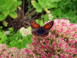 small copper butterfly by harrietbaxter