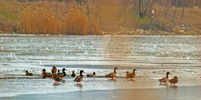 ducks resting by bypp