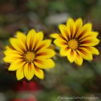 Yellow flowers I by FrancescaDelfino