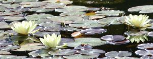 the beauty of waterlilies 2 by ingeline-art