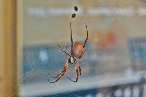 Golden Orb Web Spider by homicidal45