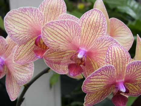 Orchid 2 by fmorris