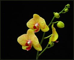 ORCHIDS 413 by THOM-B-FOTO
