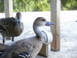 West Indian Whistling Ducks 4 by yodana