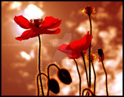 Sunset Poppies by Hitomii