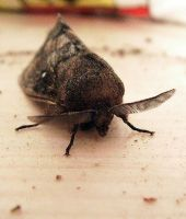 Moth III by Piok