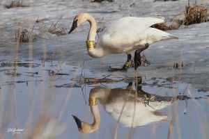 Trumpeter swan reflection by DGAnder