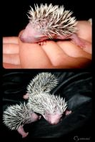 Baby hedgehogs by DieHypnose