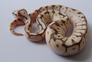 Baby Ball Python 11 by FearBeforeValor