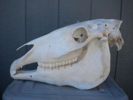 White Horse Skull by Minotaur-Queen